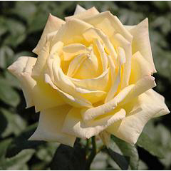 バラの花時計 ブログパーツイメージ